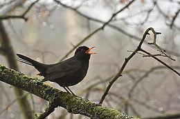 Bird trail blackbird