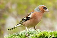 Bird trail chaffinch