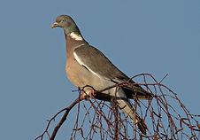 Bird trail wood pigeon