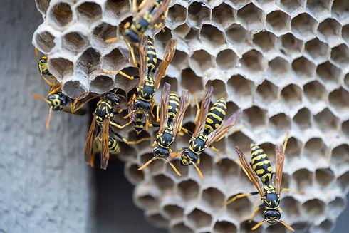 Wasps crawling around their nest.jpg