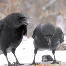 New England Crow Family by Sara Webley