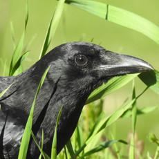 New England Crow by Sara Webley