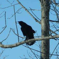 Calling Crow by Sara Webley