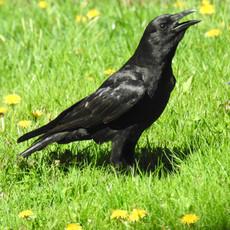 New England Summer Crow by Sara Webley