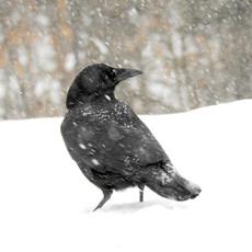 New England Snowy Crow by Sara Webley