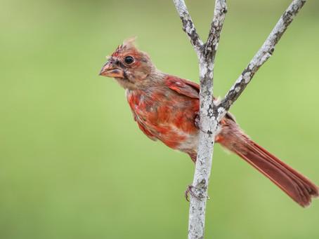 Rufus the Chirpy Cardinal
