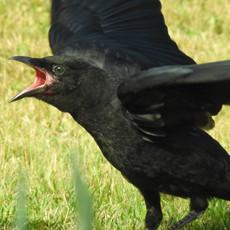 Baby Crow Begging by Sara Webley