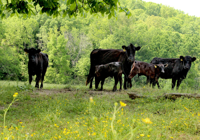 Black-Angus-Cattle-in-the-Pasture.jpg