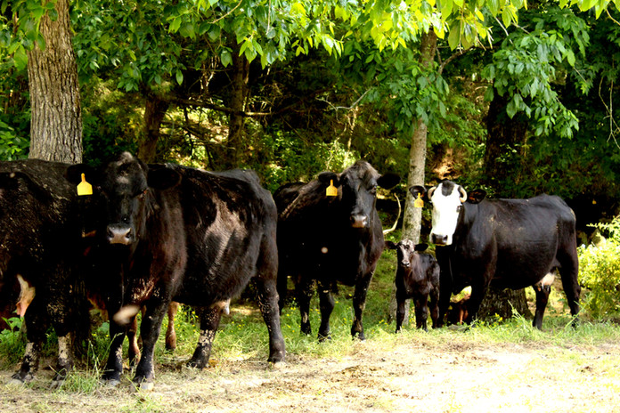 Simple-Beef-Co-Cattle-in-Shady-Trees.jpg