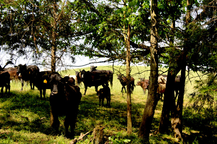 Simple-Beef-Co-Cattle-Grazing-Among-Trees.jpg