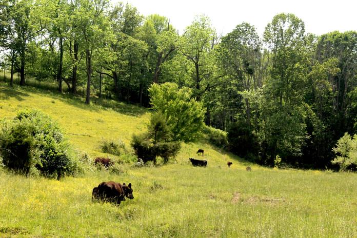 Free-range-cattle-Simple-Beef-Co
