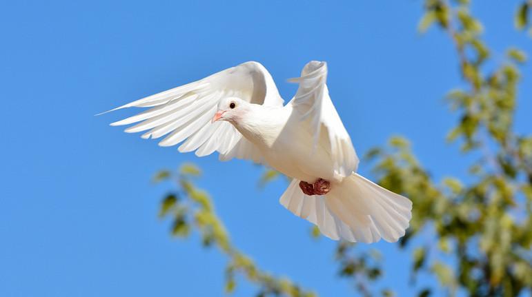 Белый голубь - Юпитер