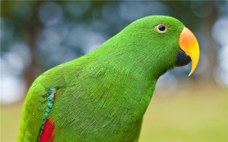 Зелёный попугай - Меркурий