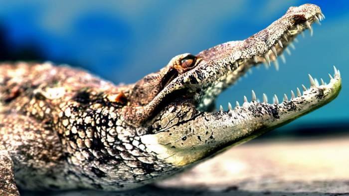 Крокодил - Раху