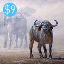 Buffalo / Dust