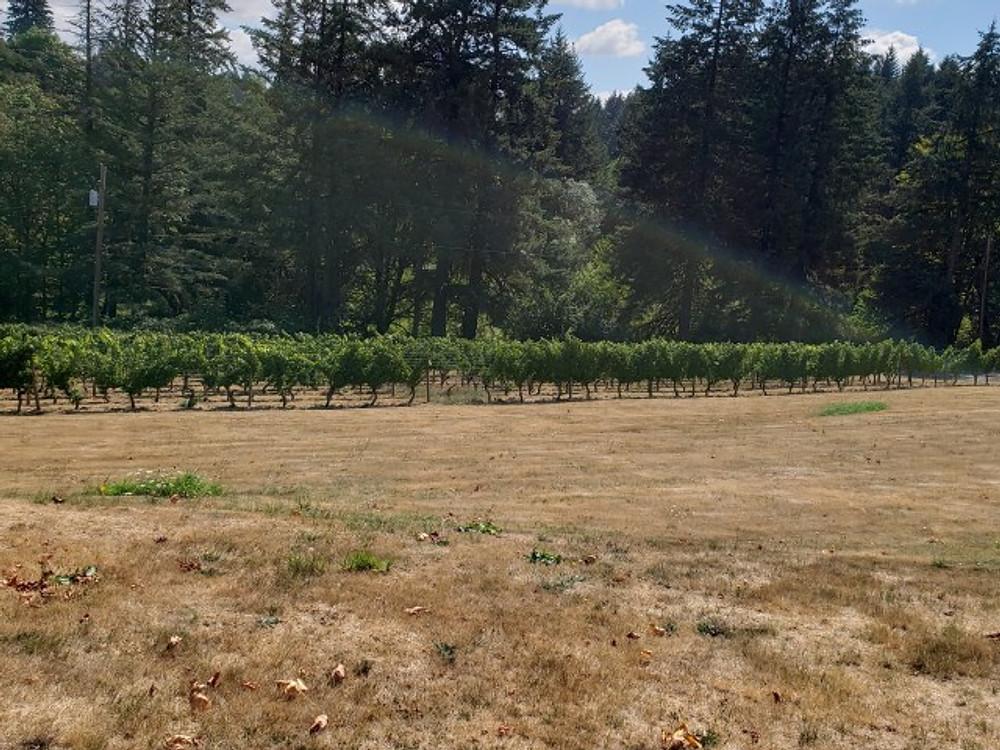 Vines in Oregon