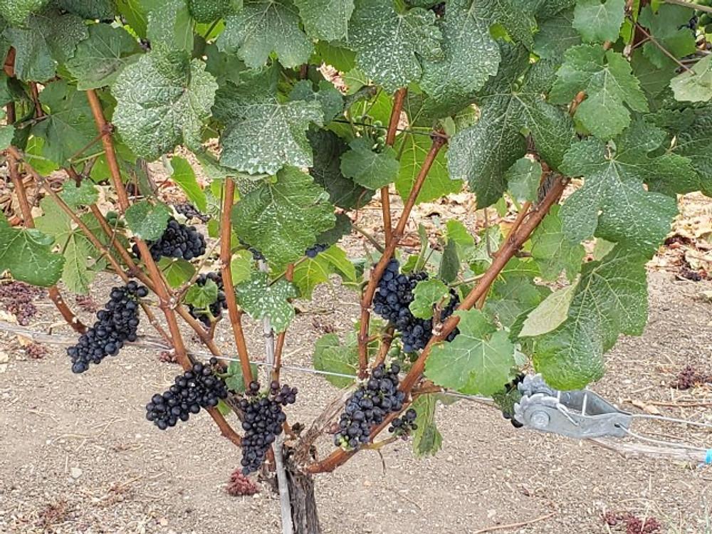 Grapes at Ponzi Vineyards