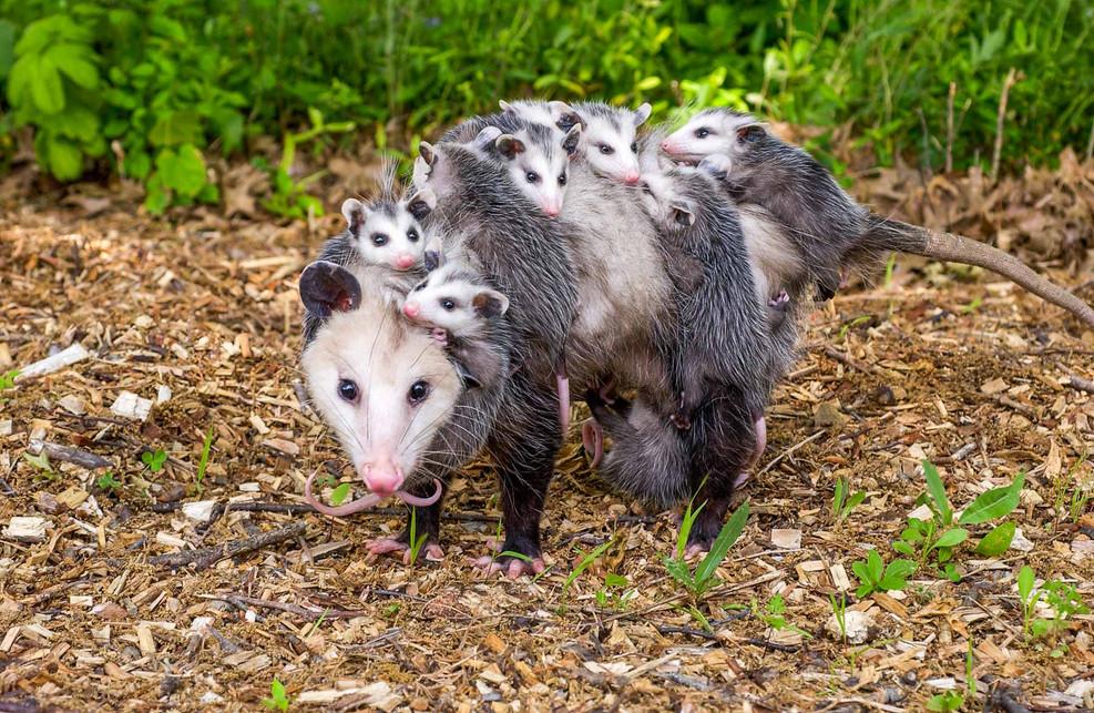 Opossum Resuscitation