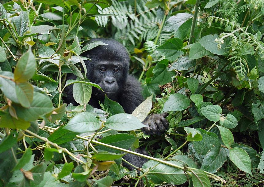 gorilla-1386501_1920 (1).jpg