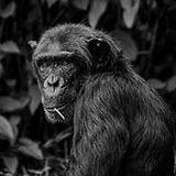 chimpanzee-1589243.jpg
