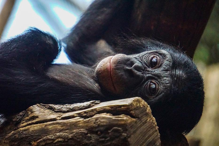 chimpanzee-3547194.jpg