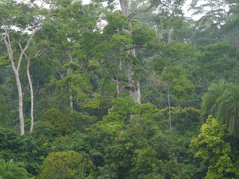 Forest Canopy - Petite Savane Bai - Lobe