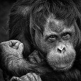 chimpanzee-1780951.jpg