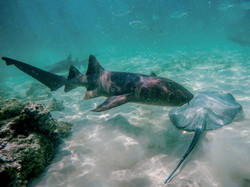 Les raies & requins