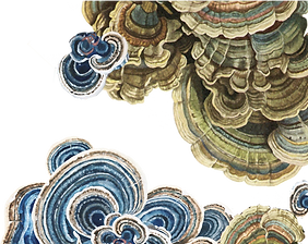 Turkey tail, or trametes versicolor, is a medicinal mushroom native to New Jersey which helps immune system fight bacteria and viruses and has anti-cancer properties.