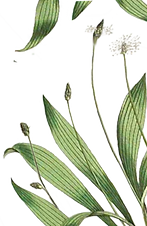 Plantain, or plantago, is a medicinal herb found in New Jersey that is best for wound healing