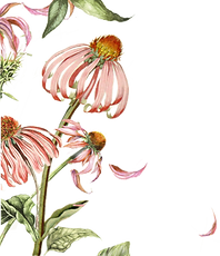 Echinacea or coneflower is a medicinal herb that is best for immune system health