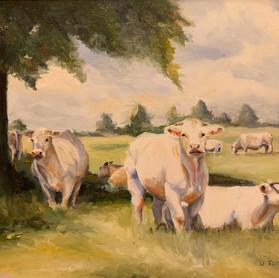 Westport Cows