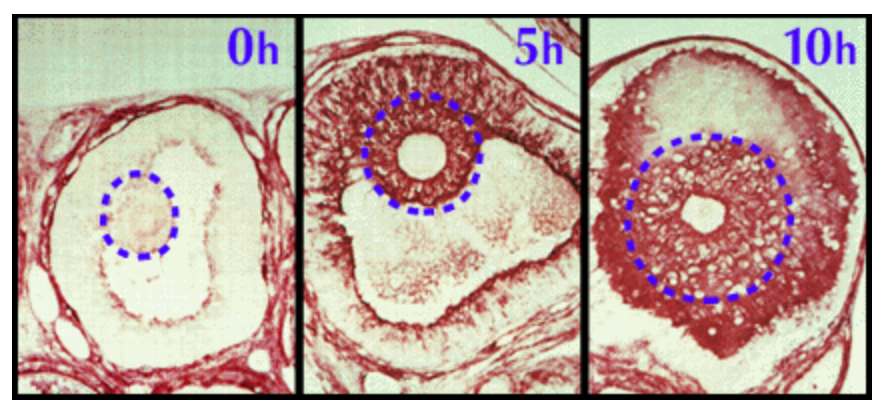 A biotinylated hyaluronan-binding protein was used to localize hyaluronan specifically in mouse follicles at times of 0 hour, 5 hours and 10 hours after injection of an ovulatory dose of human chorionic gonadotropin. The COC is indicated in each section.