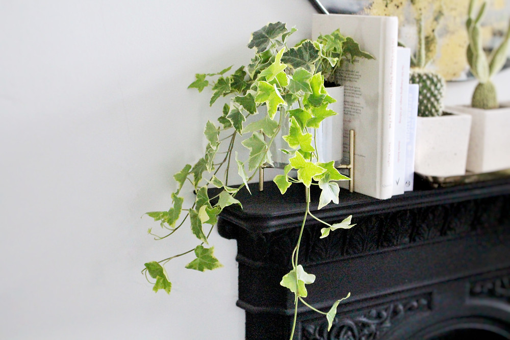 English Ivy for detoxification and purifying the air by You Need A Nutritional Therapist