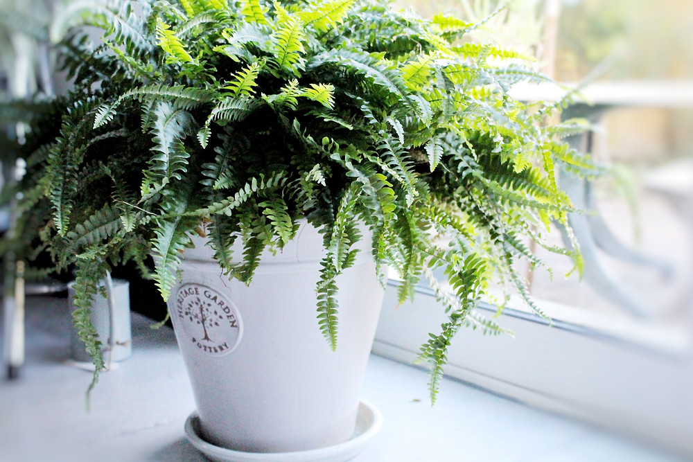 Boston fern for natural air purification and detoxification by You Need A Nutritional Therapist. Plant therapy.