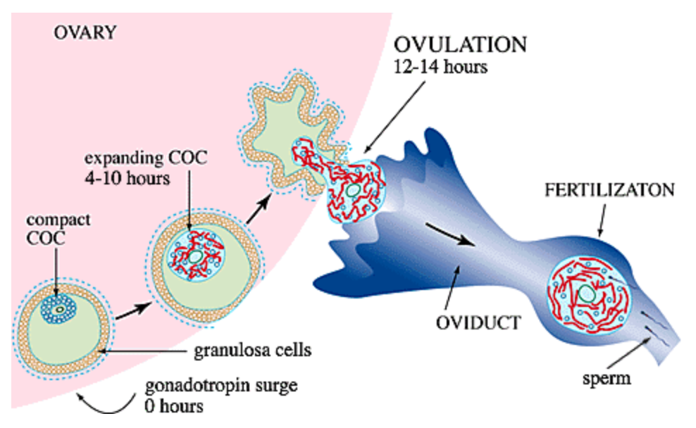 Diagram of follicle maturation and ovulation by London's leading Hormone Nutritionist Kay Ali