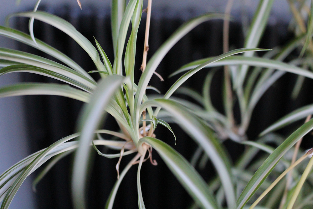 Spider plant used in plant therapy at You Need A Nutritional Therapist as a natural air purifier