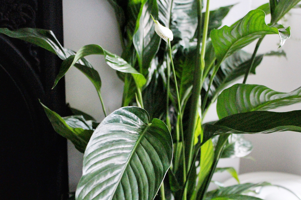 Plant therapy, natural air purifiers for better health by You Need A Nutritional Therapist