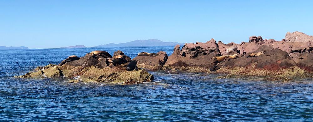 sea lions sunning on a rock
