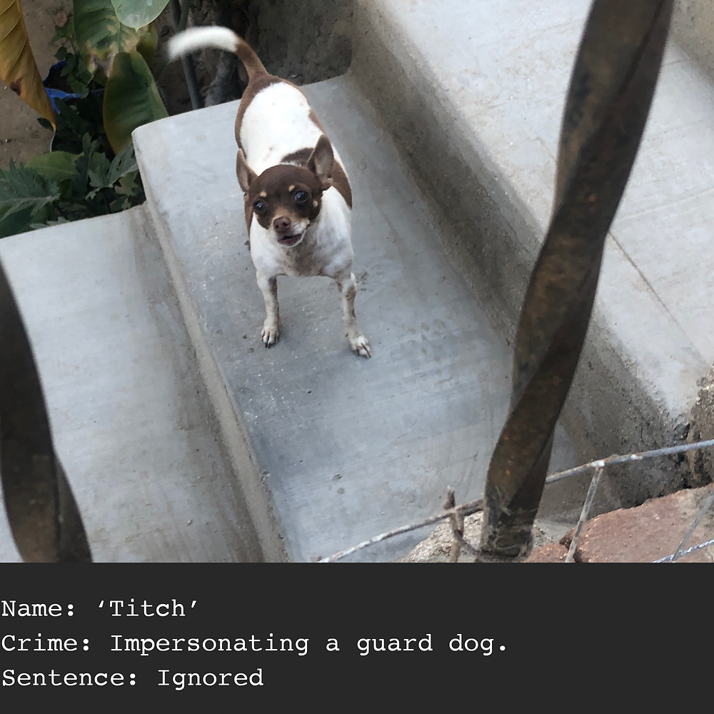 chihuahua guard dog