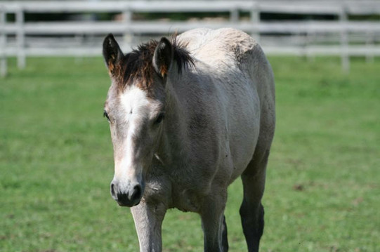 A purebred filly at Prarie Connemaras
