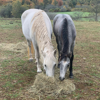 *Grey Pearl with Catskill Lady Grey