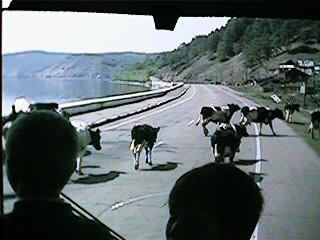 19 cowscross.JPG