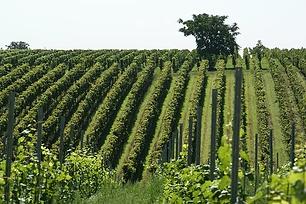 vineyard-836200__340.webp