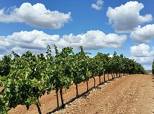 vineyard-1014890__340.webp
