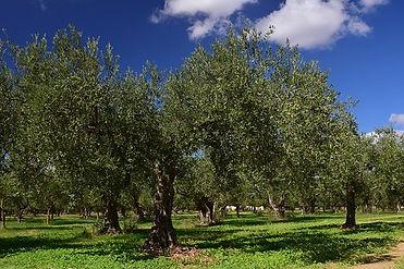 olive-trees-2846457__340.jpg