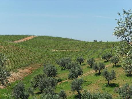 vineyard-2181838_960_720.webp