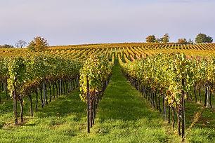 vineyard-4566852_960_720.jpg