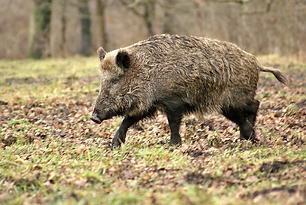 wild-boar-70420_960_720.webp