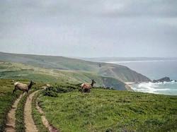 Tule elk on the trail